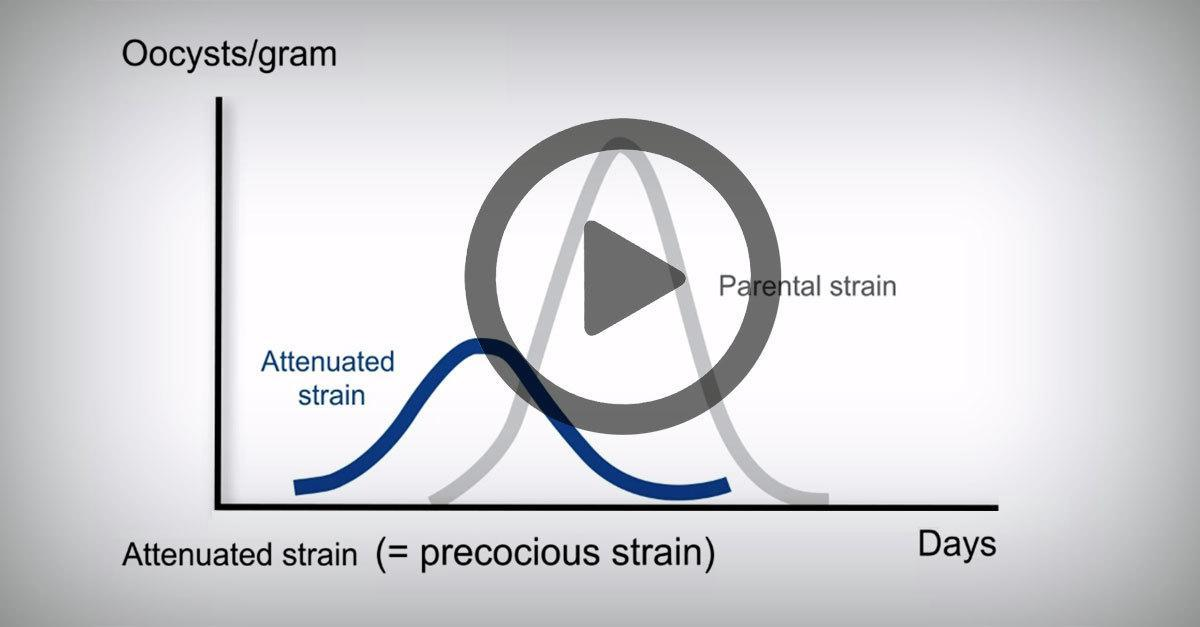 Process of attenuation of eimeria vaccine strains by precociousness: