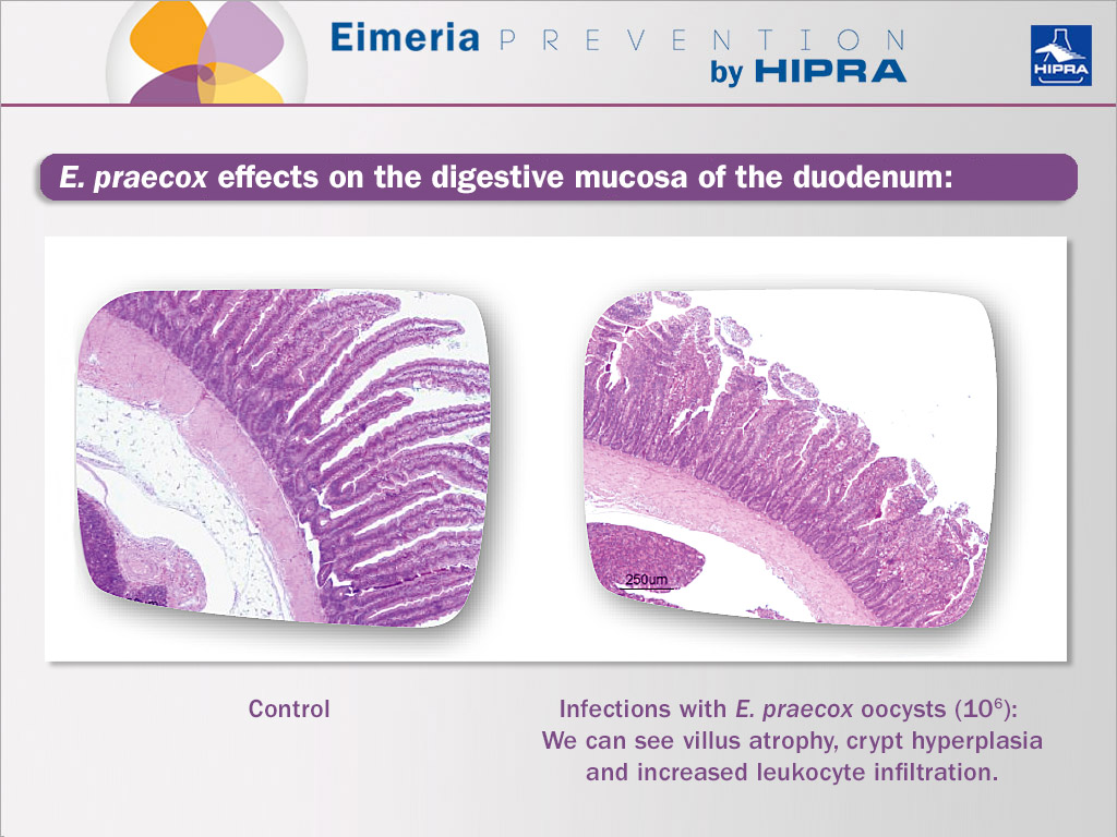 e-praecox-effects-on-the-duodenum