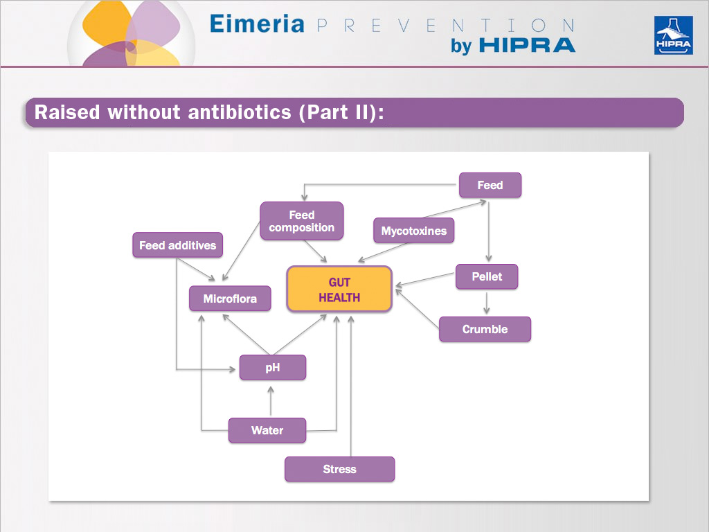 Elements that affect the gut health of chicken without antibiotics