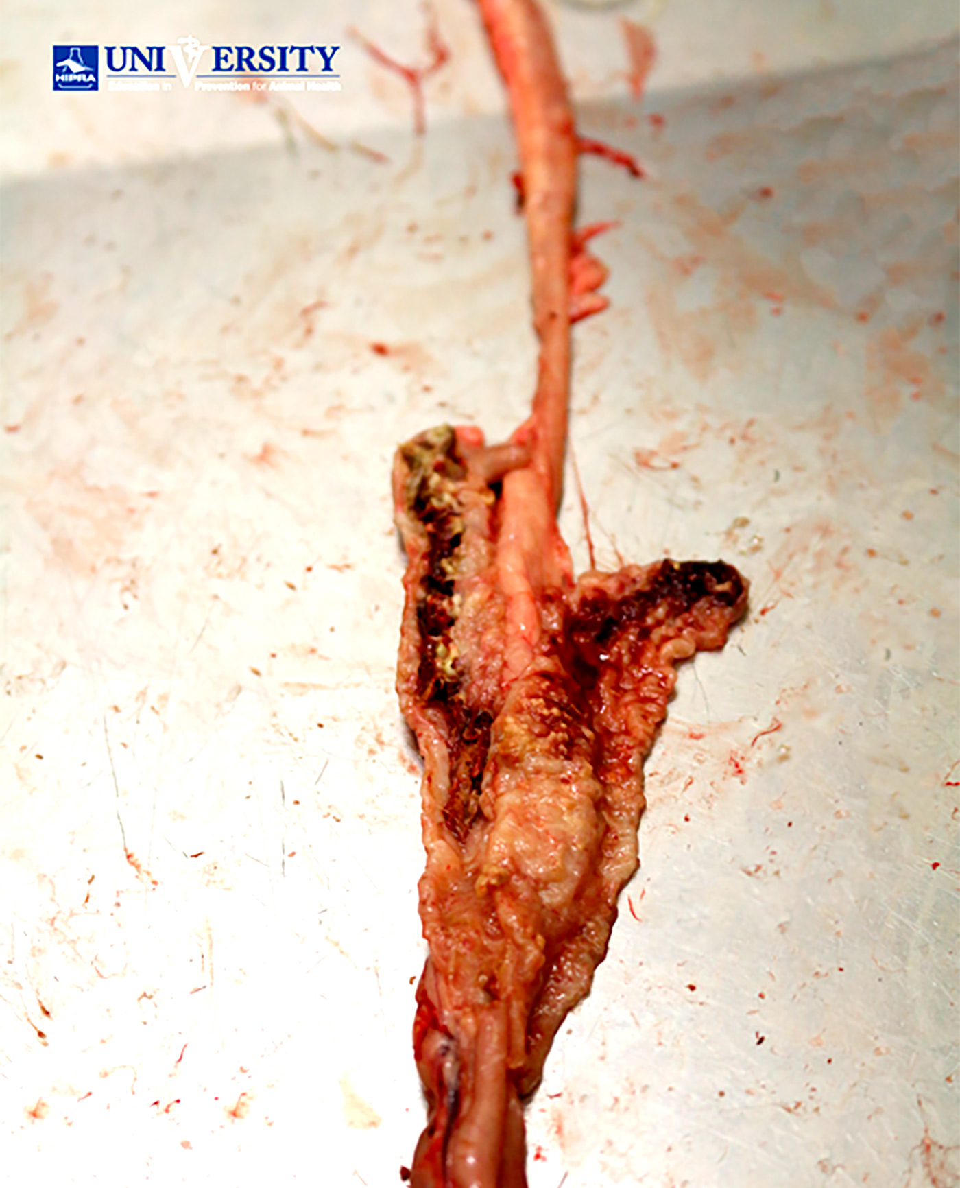 close image of of eimeria tenella lesion degree 4 in avian animals