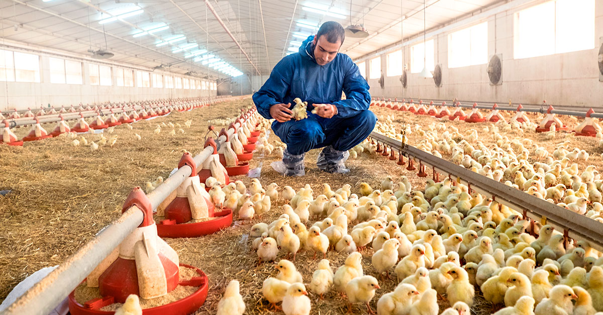 Coccidiosis in chickens: In Brazil, the use of vaccines to control coccidiosis in chickens is still uncommon