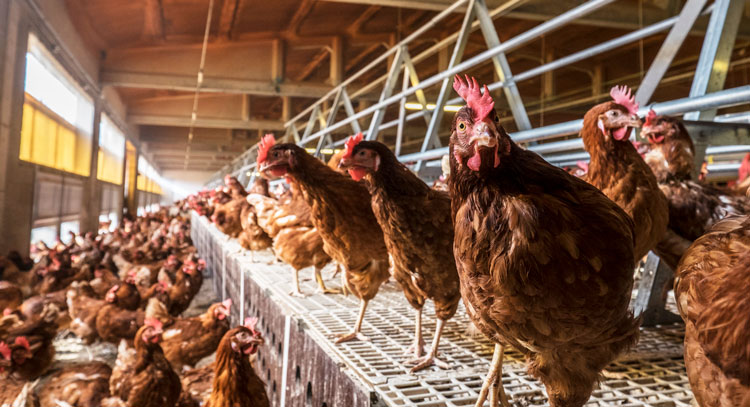 Coccidiosis in alternative laying systems