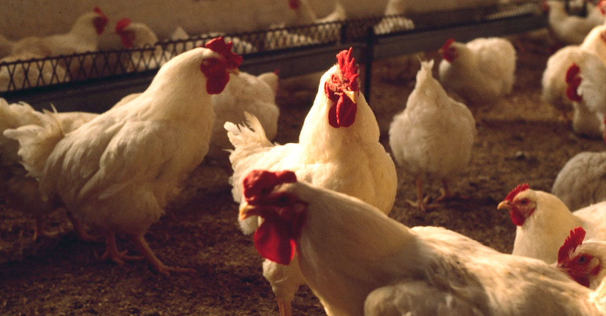 Uniformity: coccidiosis in chikens
