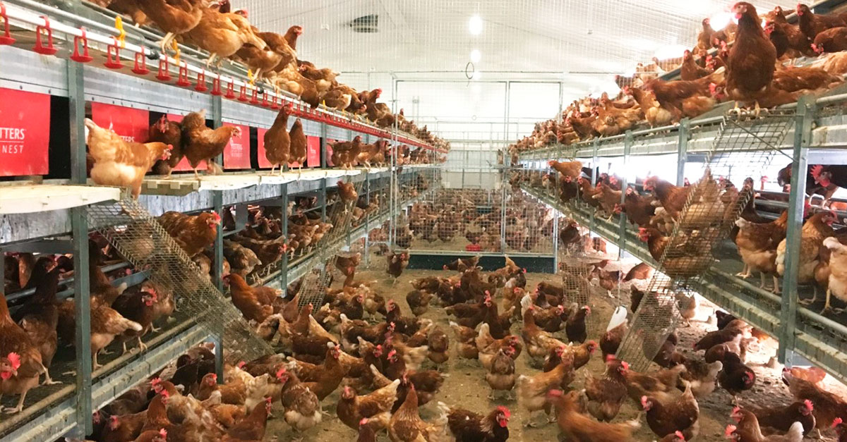 vaccination against coccidiosis: laying aviary system