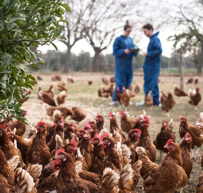 eimeria vaccination: german farm
